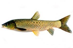 grass carp-1